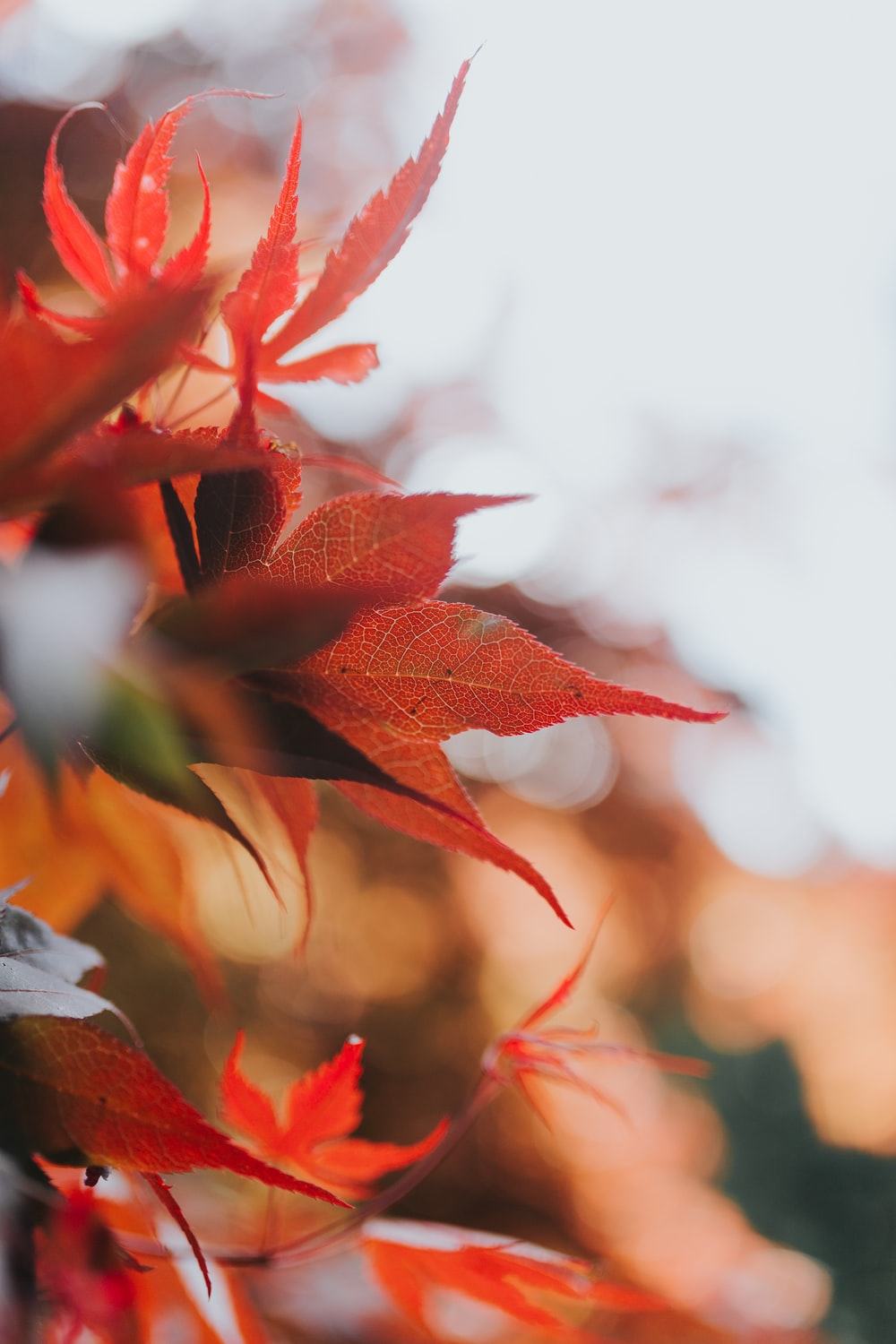 red leafed plants