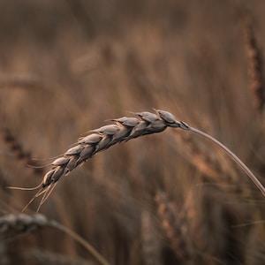 closeup photography of wheat grass