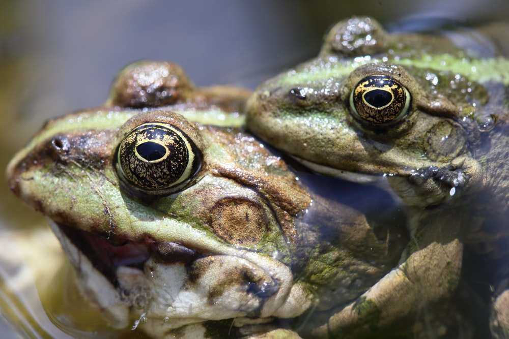 selective focus photography of two green frogs