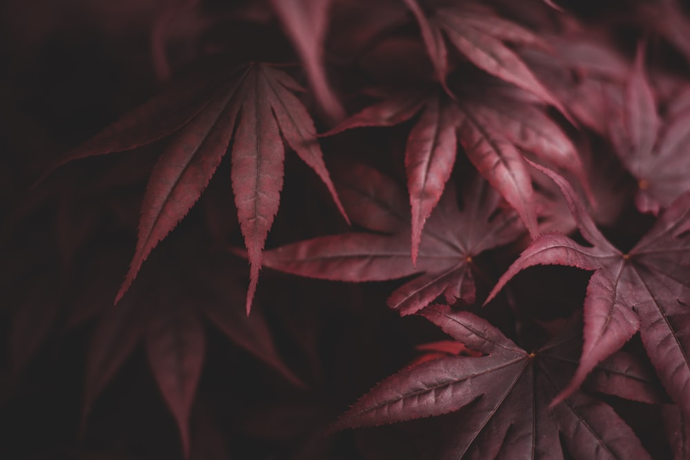 close up photography of red leaf plant