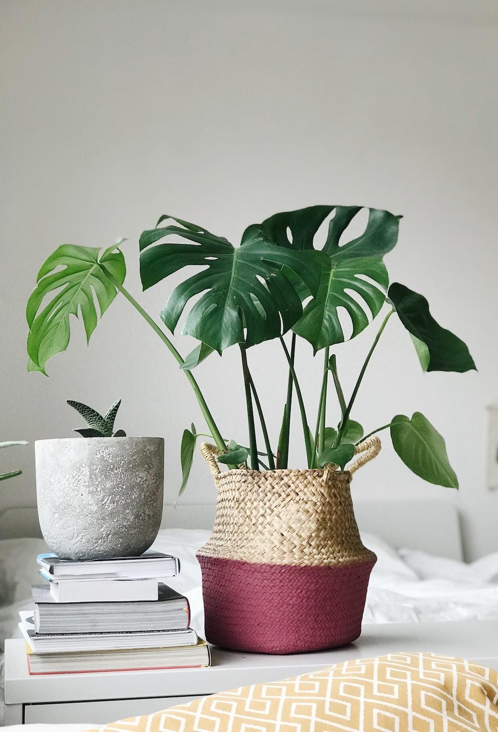 green leaf plant in brown wicker vase near books