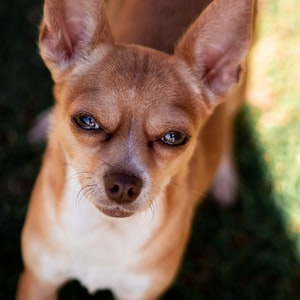 adult brown smooth Chihuahua