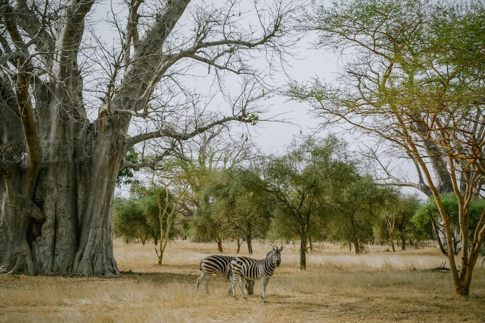 zebra near trees