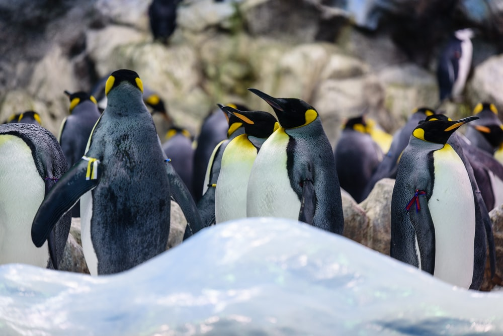 group of penguins
