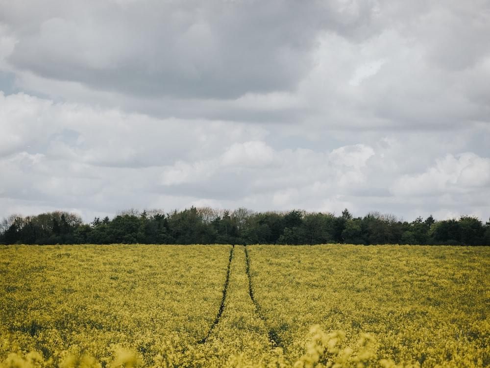 pathway in flower fields under white clouds