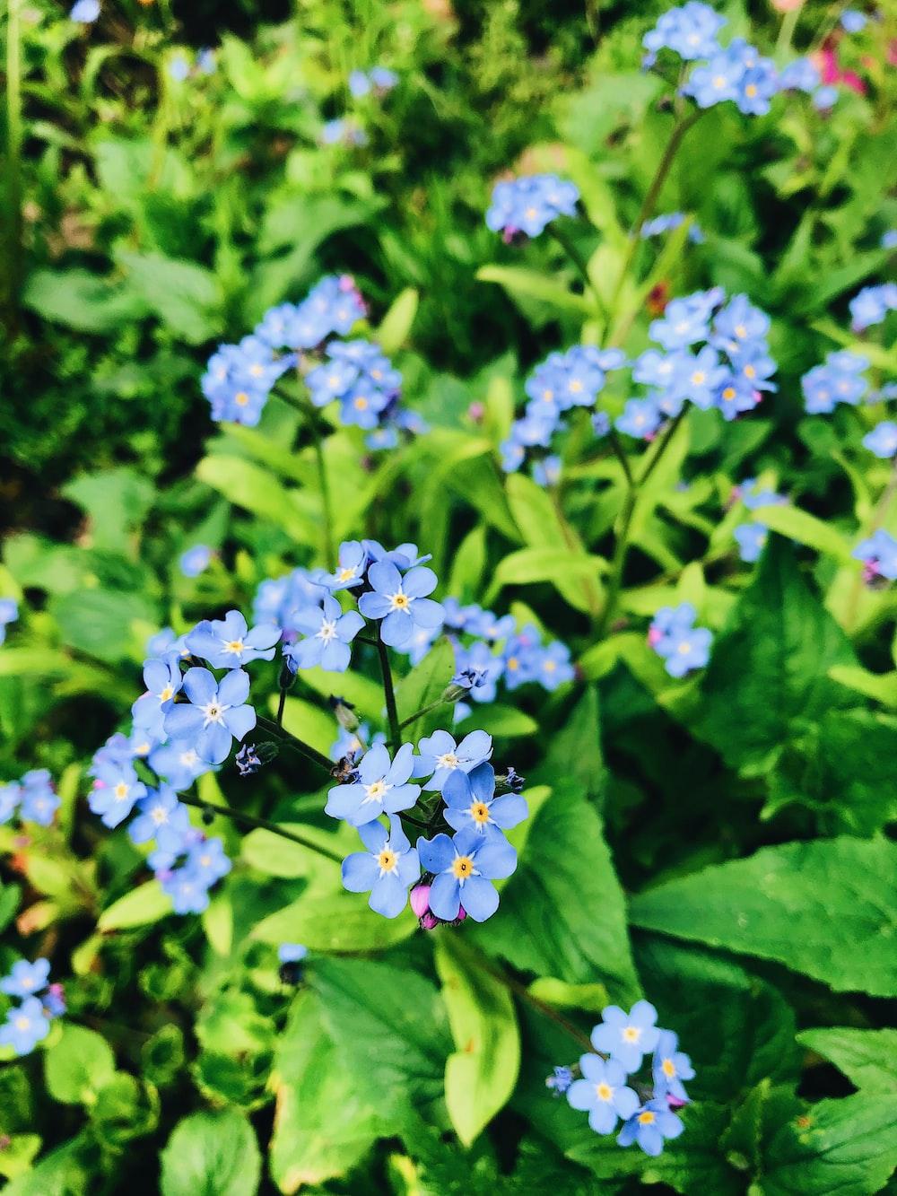 blue petaled cluster flower blooming at daytime
