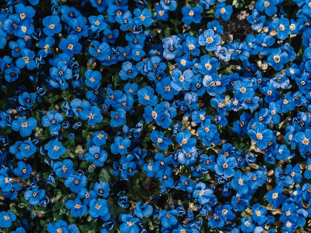 blue flower field