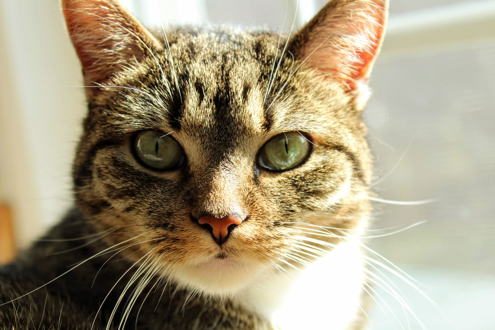 brown tabby cat close-up photography