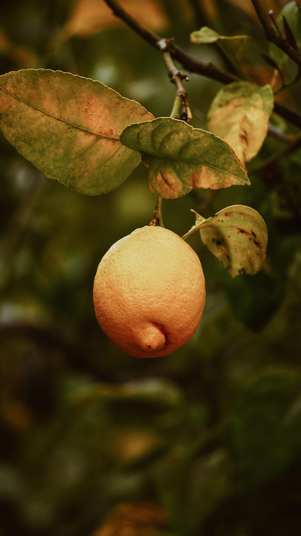 orange fruit growing on tree