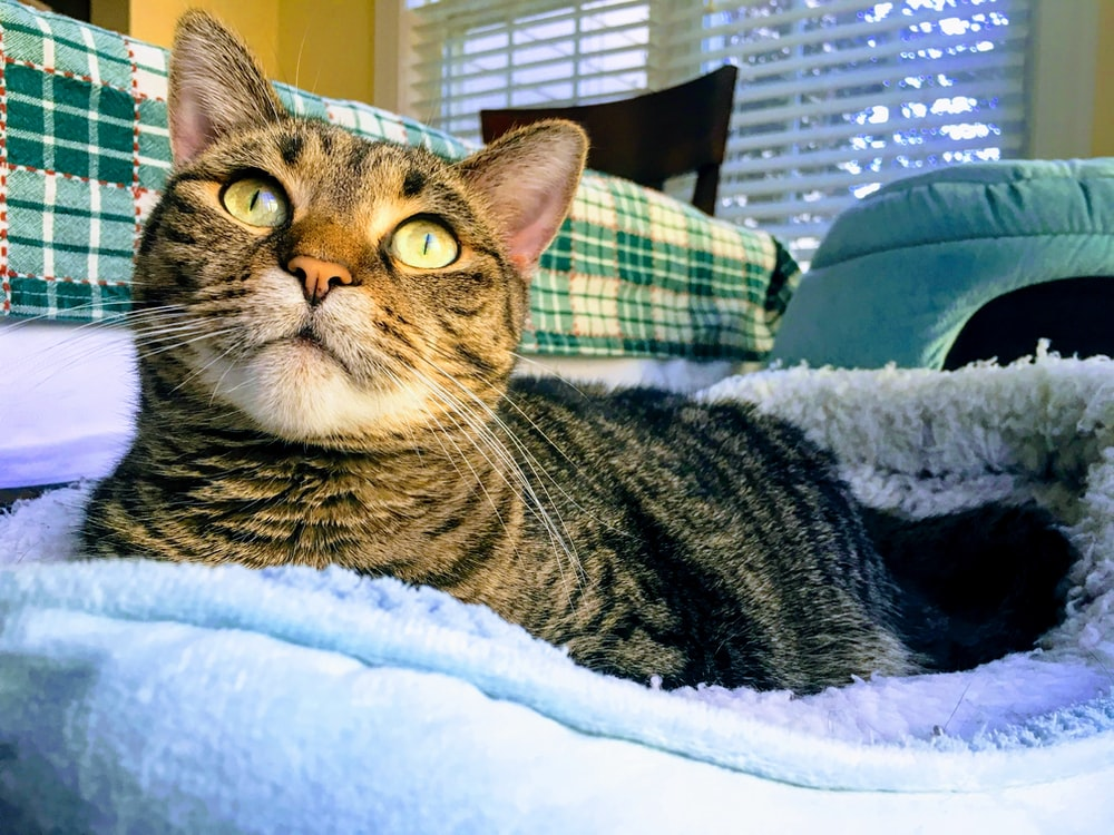 tabby cat on pet bed