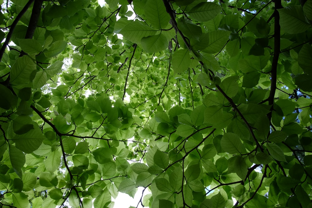 low angle photo of green tree