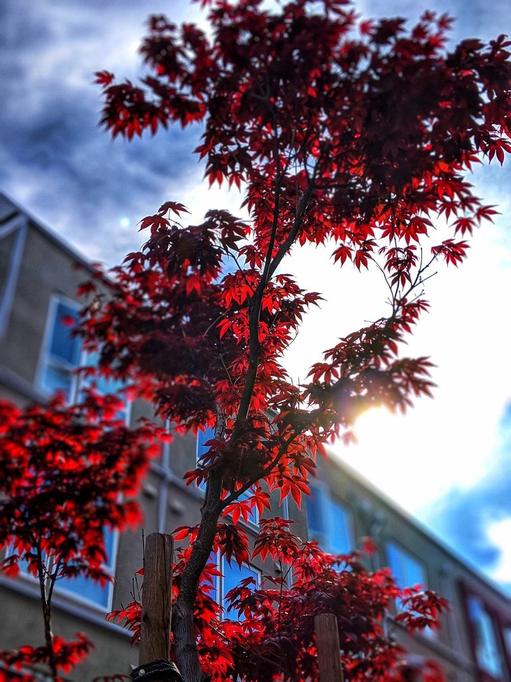 low-angle photo of red leafy tree