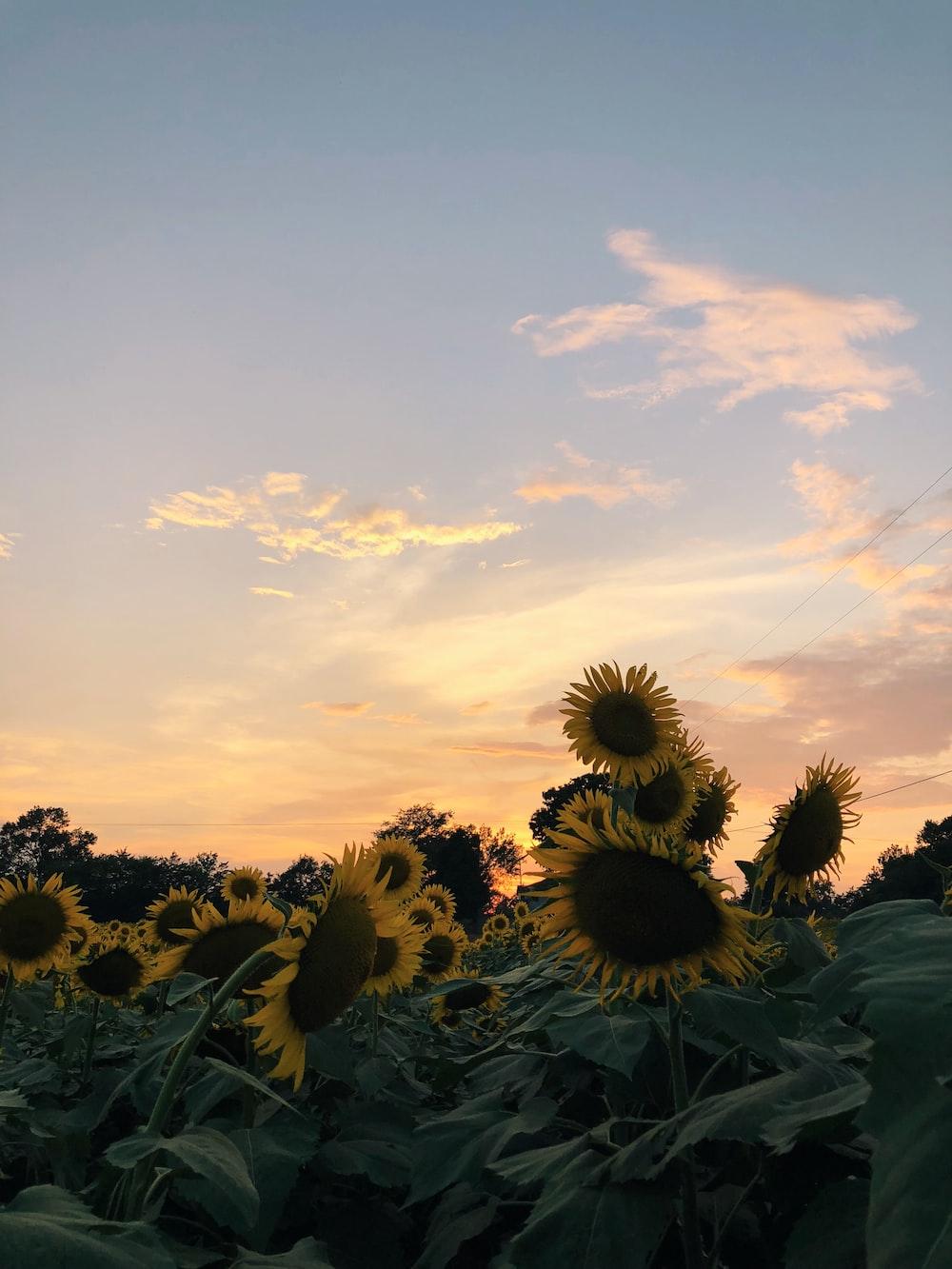 sunflower under blue sky during golden hour