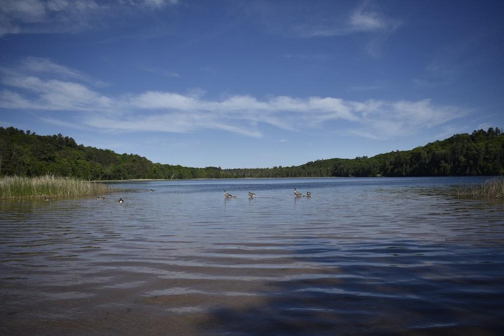 ducks on lake during daytime