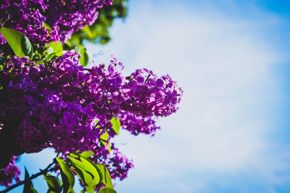 purple lilac flower