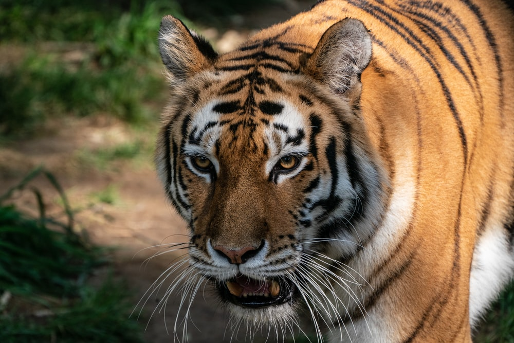 white, black and brown tiger