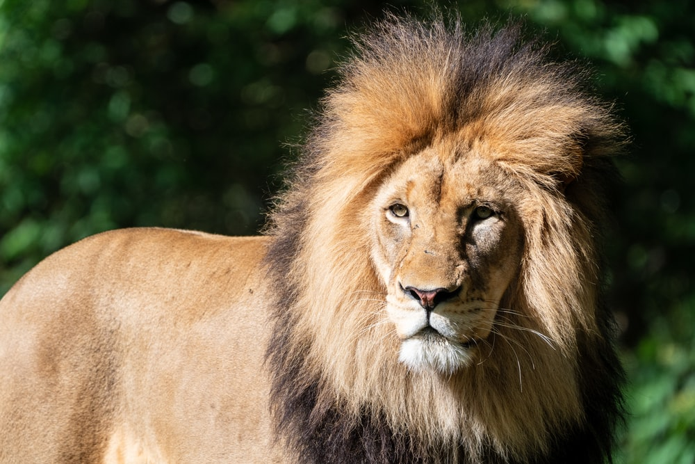 selective focus photo of lion