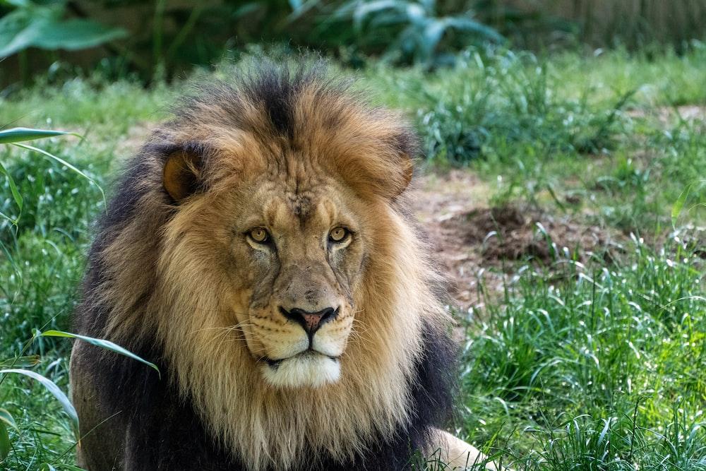 male lion on green field