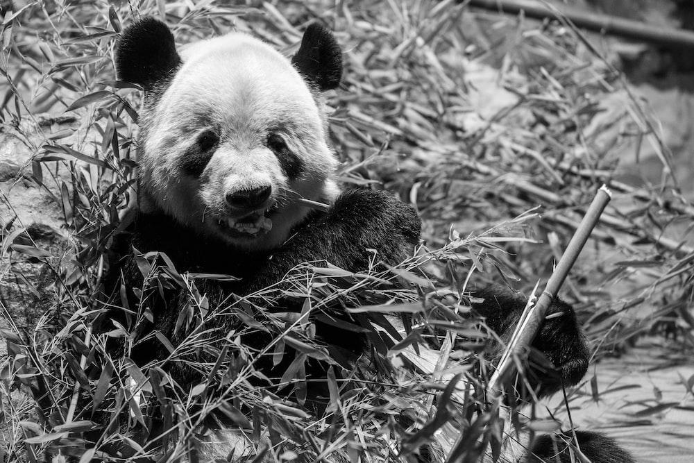 grayscale photography of panda