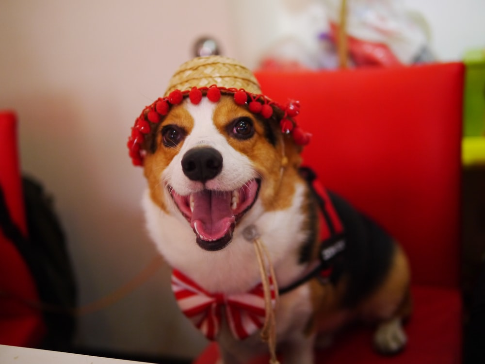 brown, white, and black short coated dog wearing hat