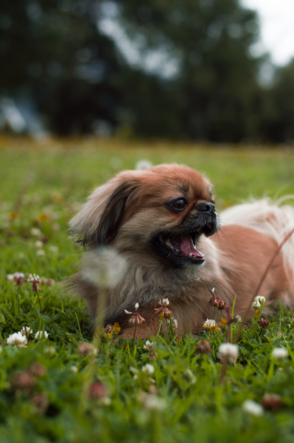 brown and white short coated puppy lying on grass lawn