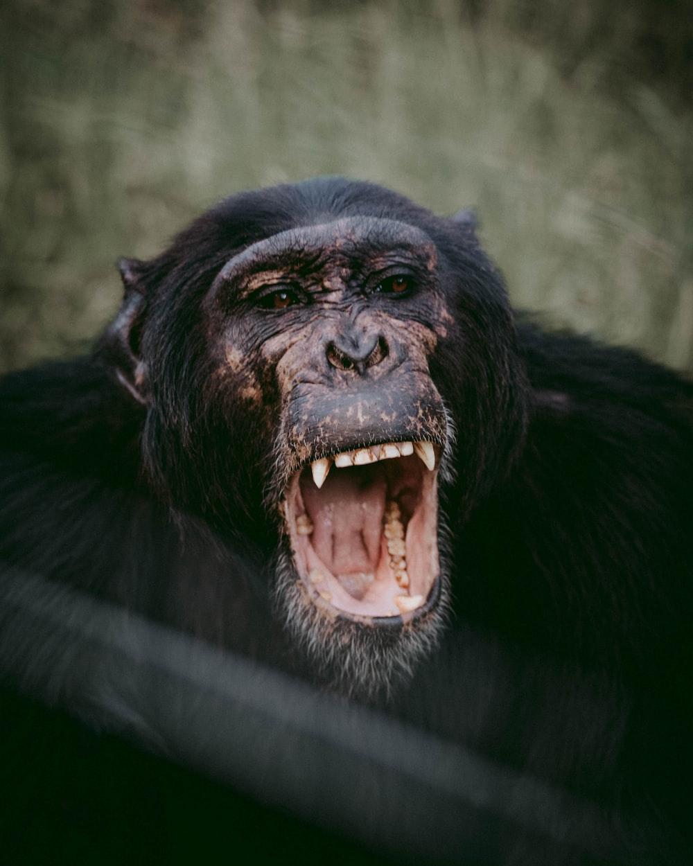 opened mouth chimpanzee
