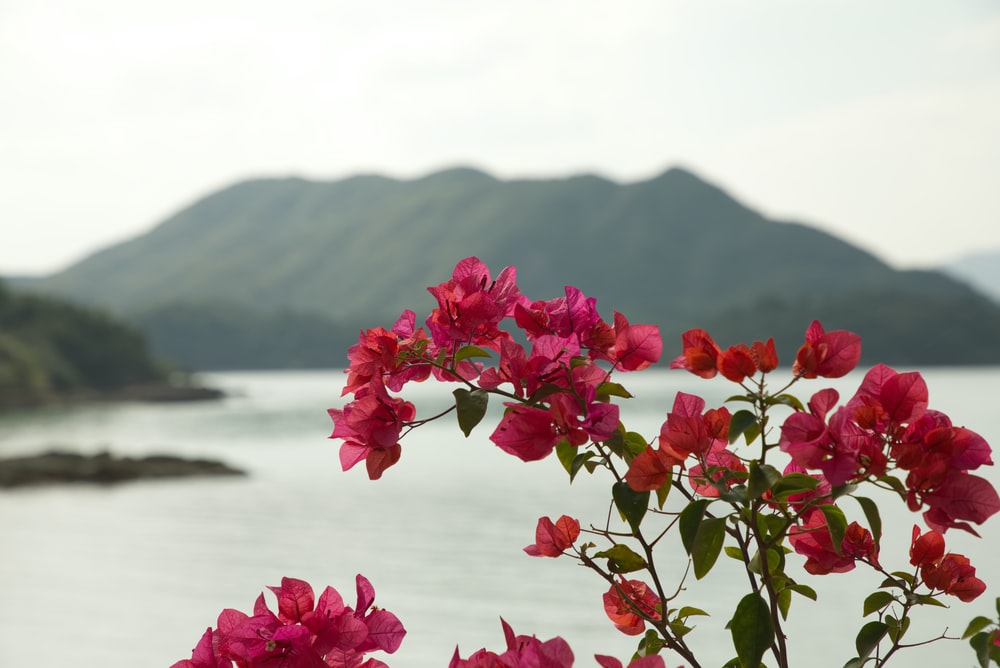 red petaled flower plant near body of water