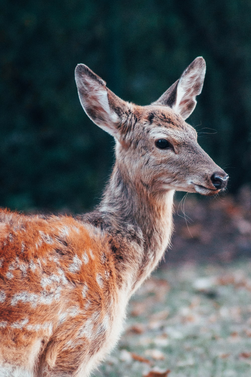 selective focus photography of spotted deer