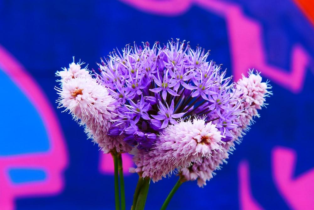 blooming purple ixora flowers