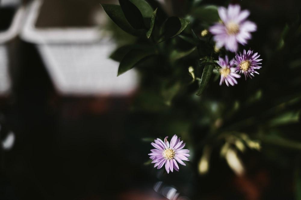 blooming purple gerbera daisy flowers