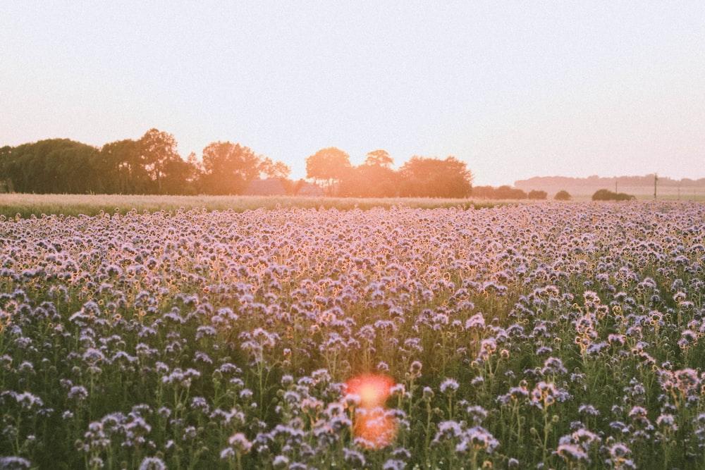 purple cluster flower field