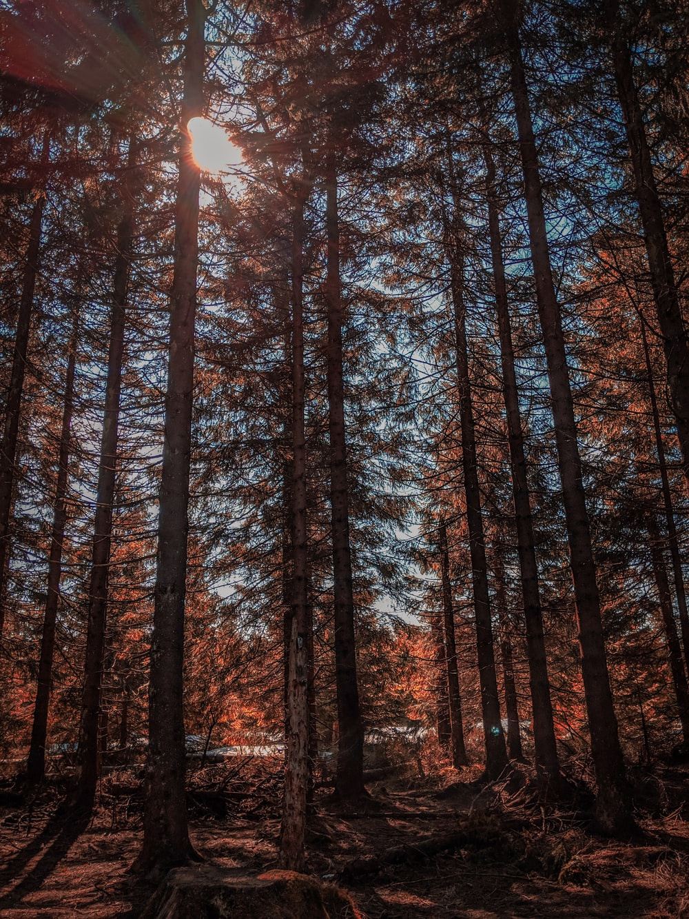 tall pine trees covering sunlight at the woods