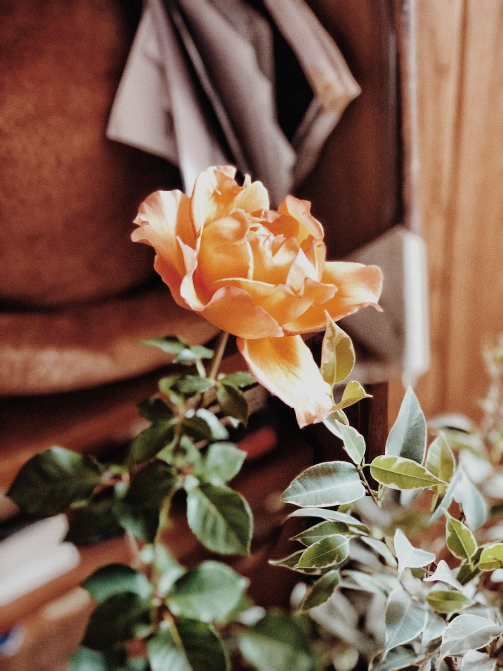 close view of orange rose