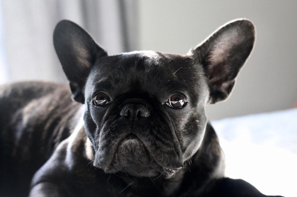 black French dog