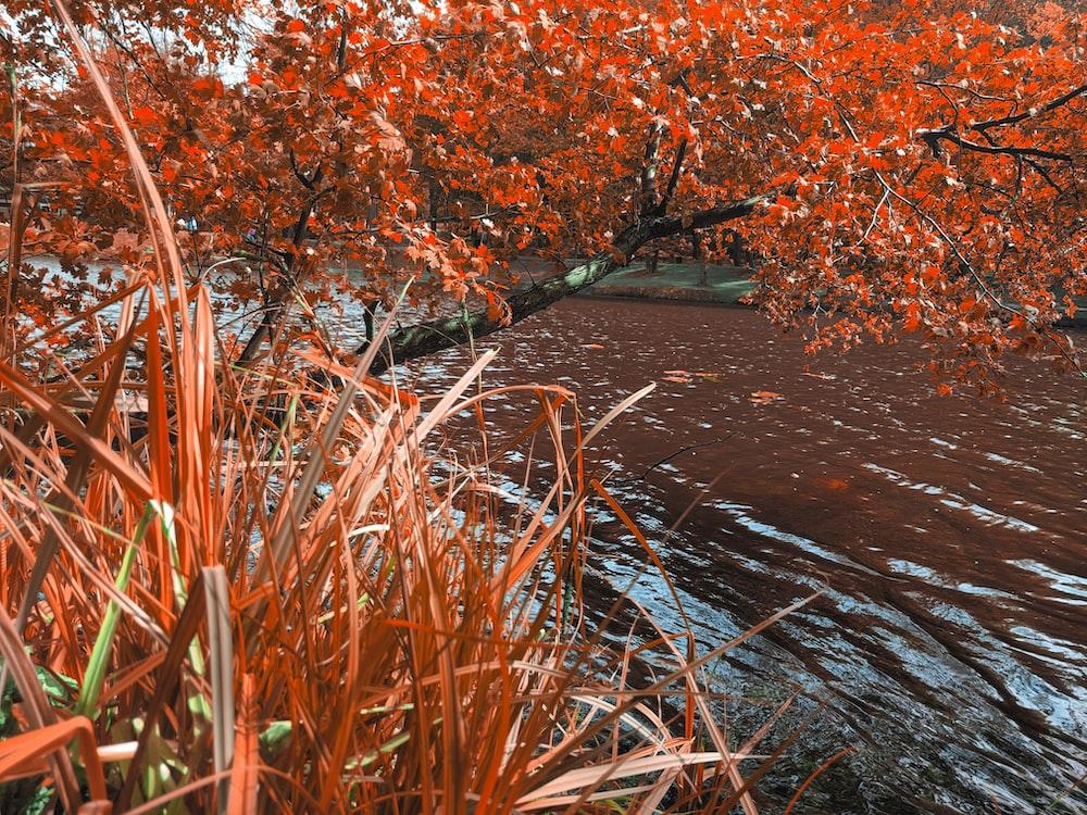 red-leaf tree beside water stream