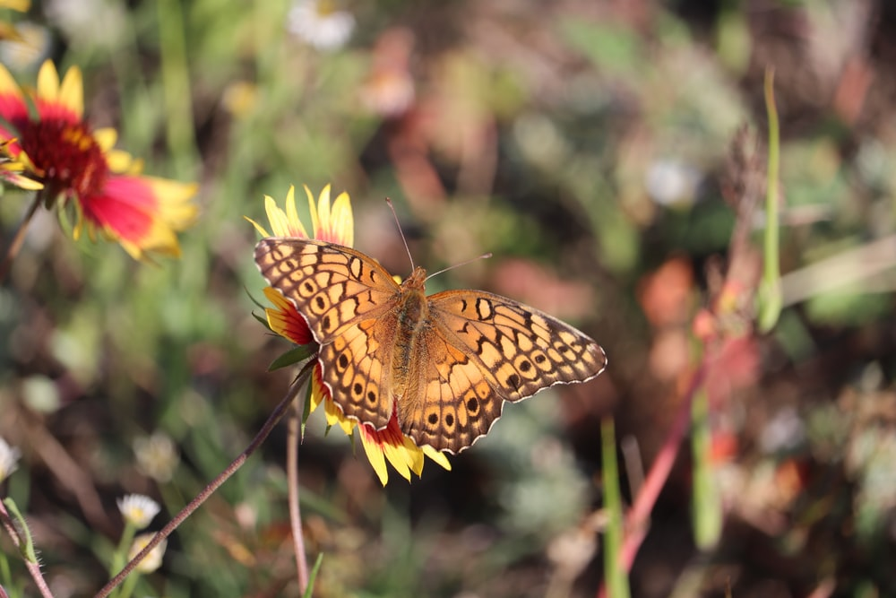 brown and black butterfly on yellow and red blanket flower