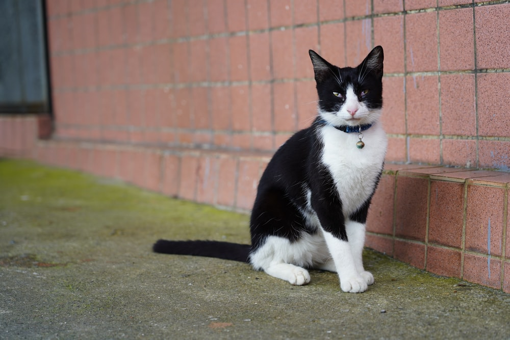 short-haired black and white cat