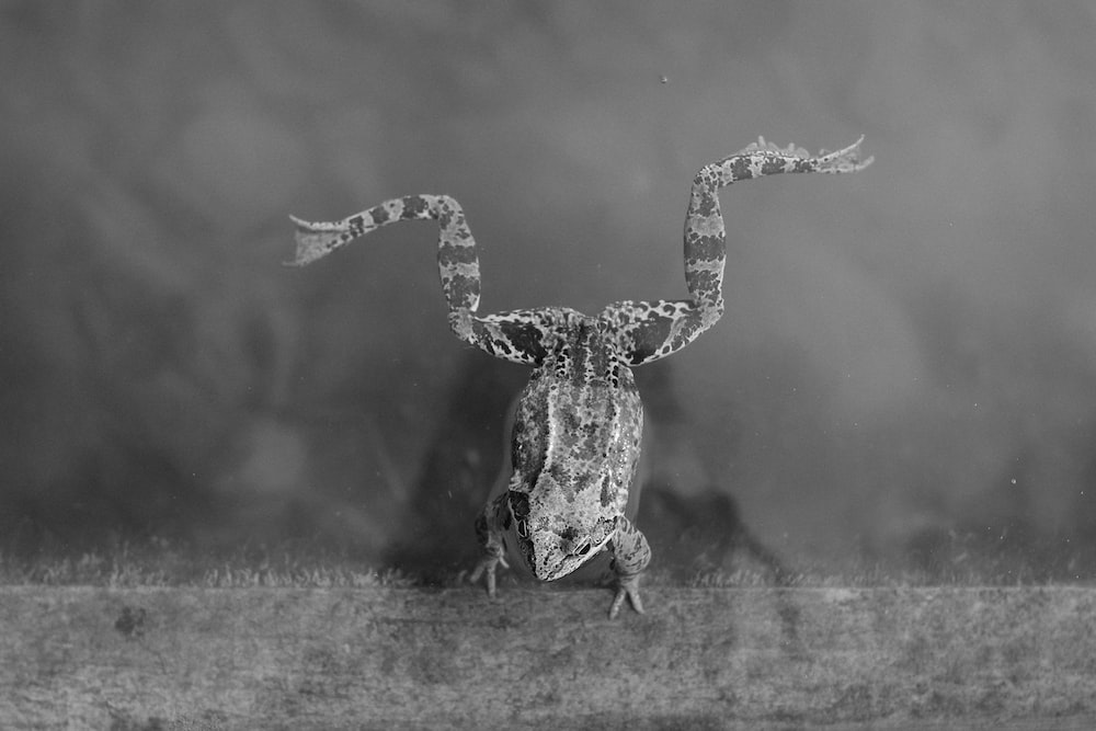 grayscale photography of frog on water