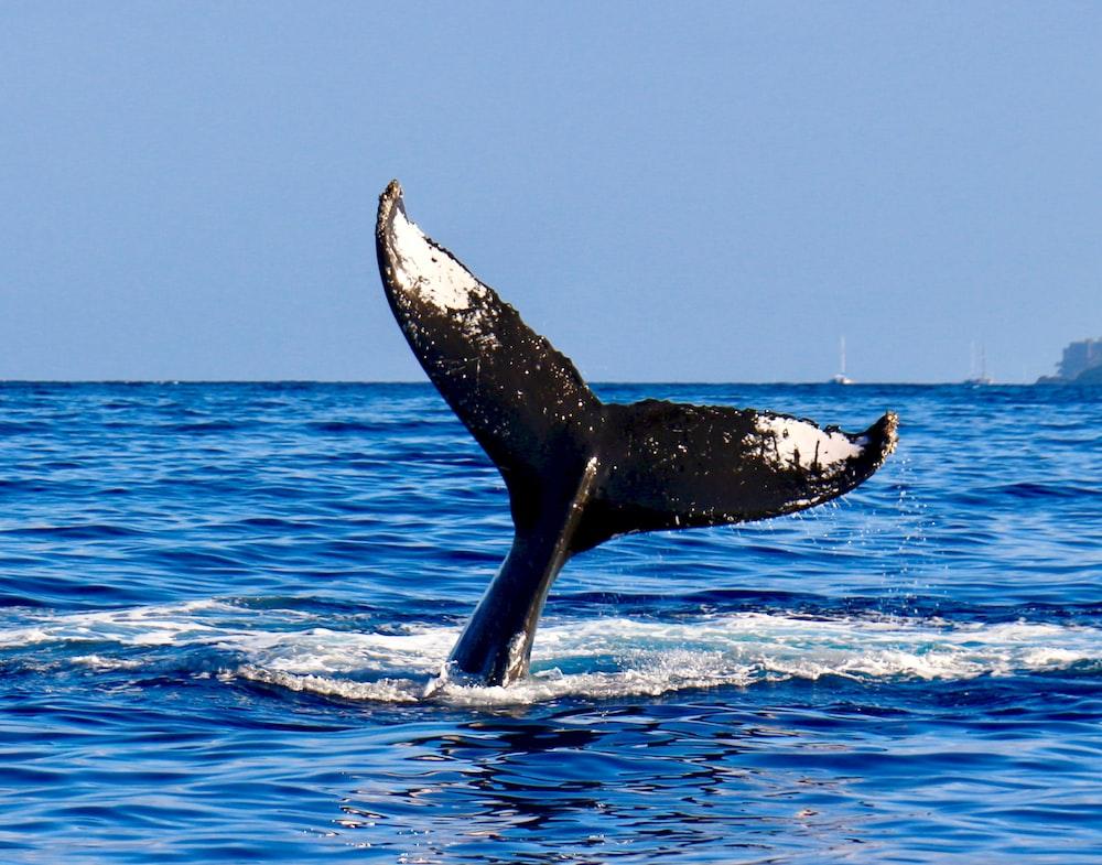 black whale tail