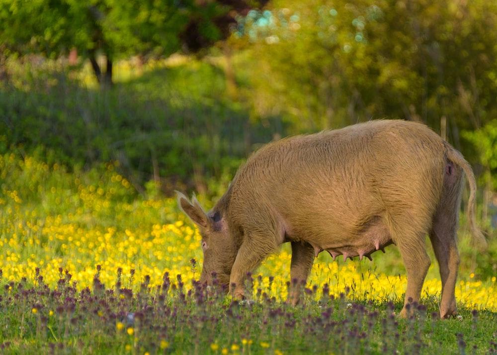brown pig eating green grass during daytime