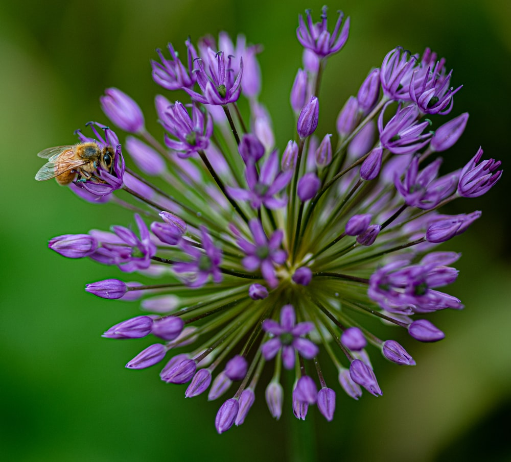 shallow focus photo of bee on purple flowers