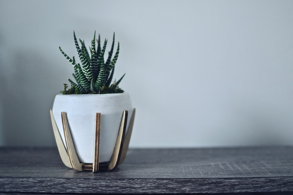 green zebra succulent on white pot
