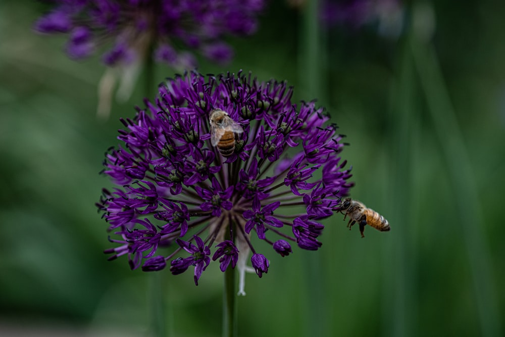yellow bees on purple flower