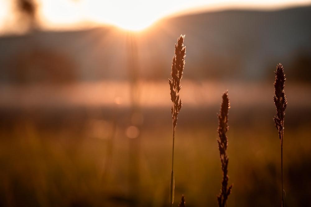 shallow focus photo of wheat