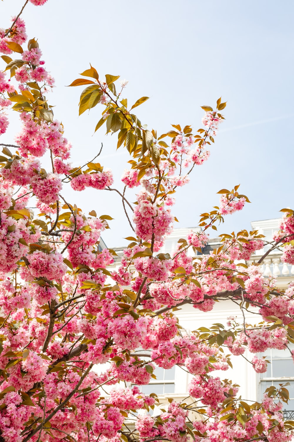 pink flower tree during daytime close-up photography