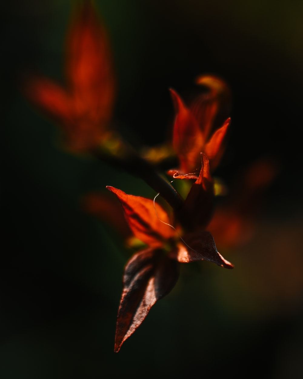 red leaf plant close-up photography