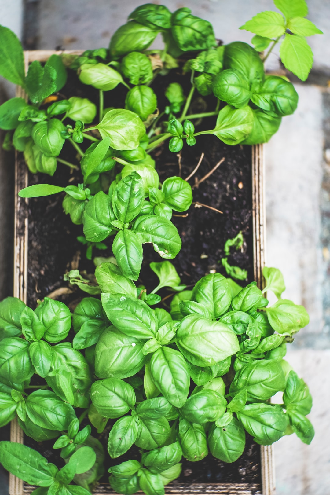 Urban Gardening – Homegrown Basil Herb. Made with Canon 5d Mark III and Meyer Optik Görlitz Primoplan 1.9 / 75mm