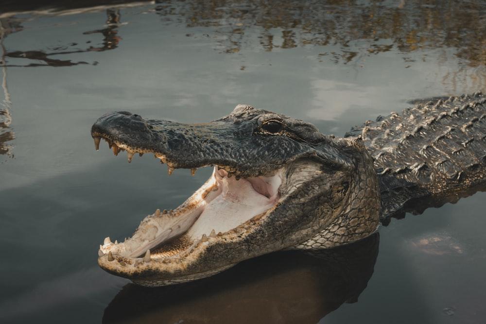gray crocodile on body of water