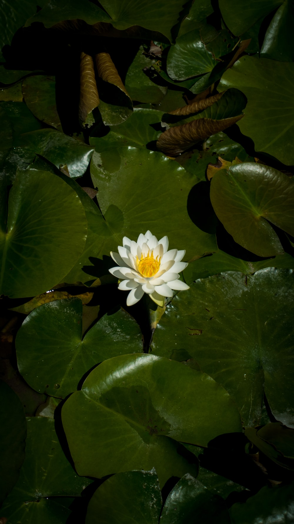 white lotus blooming during daytime