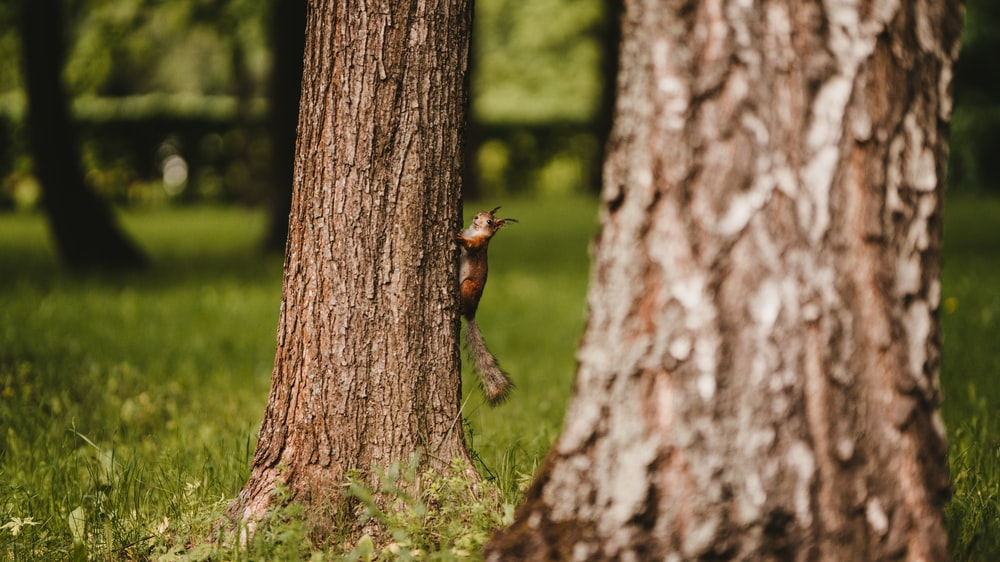 brown squirrel climbing on tree